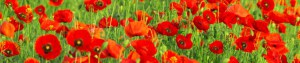 cropped-nature_flowers_red_poppies_field_035273_1